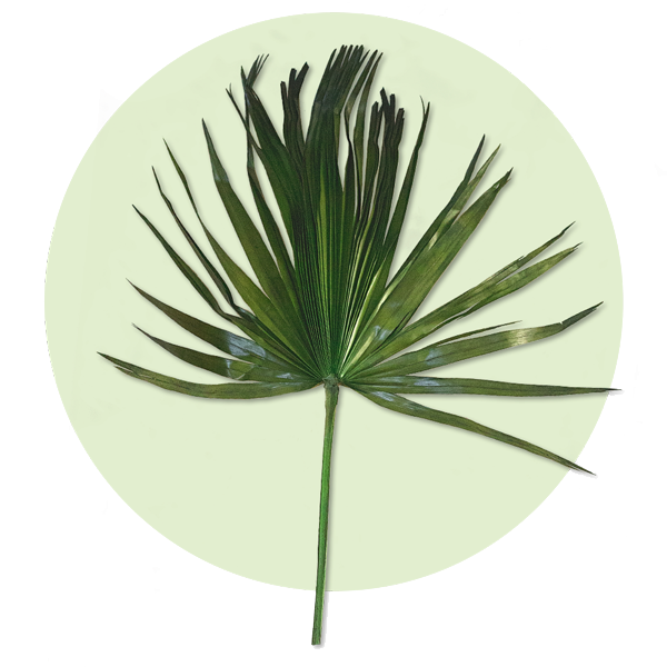 washingtonia palm leaves